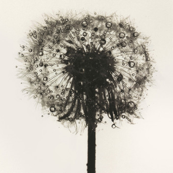 Irving Penn, Dandelion, New York, c. 1973