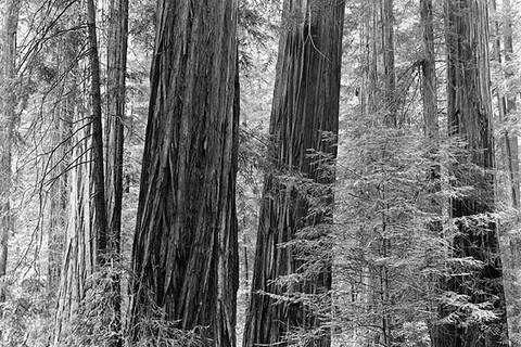 John Szarkowski, Rockefeller Grove, Humboldt State Park, 2000