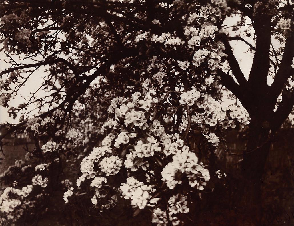 Eugène Atget, Poirier en Fleurs, 1922