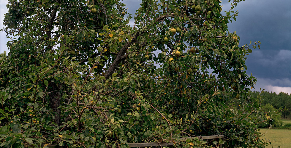 William Christenberry, Pear Tree with Storm Cloud, near Akron, Alabama, August, 2002
