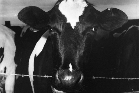 Peter Hujar, Cow Chewing Barbed Wire, 1978
