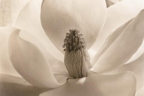 Imogen Cunningham (1883-1976), Magnolia Blossom, 1925