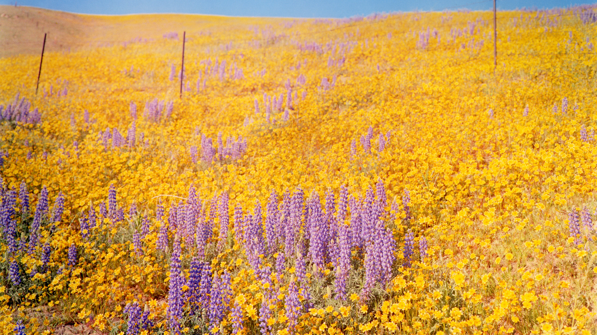 William Eggleston, Yellow Flowers, Hillside, California, 1978