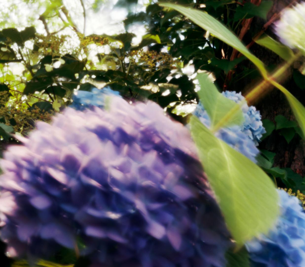 Jocelyn Lee, Untitled pinhole (blue hydrangea), 2008