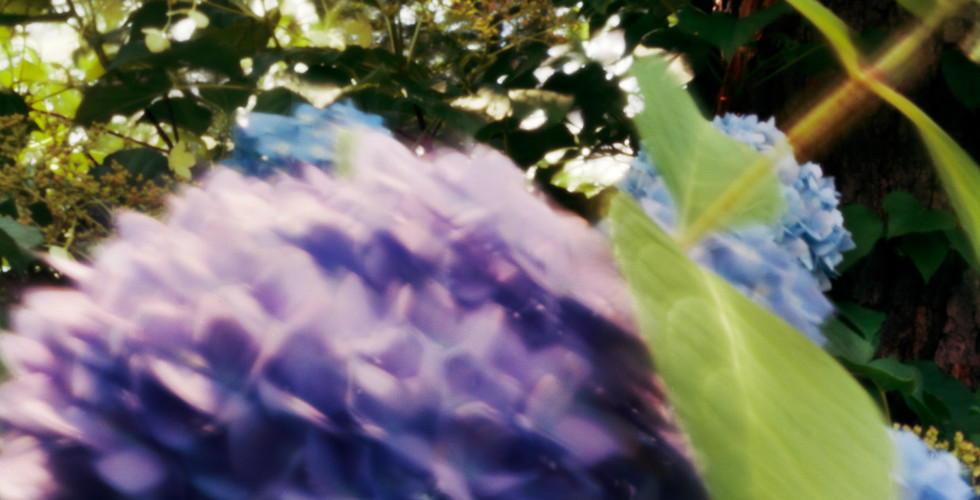 Jocelyn Lee, Untitled pinhole (blue hydrangea), 2008