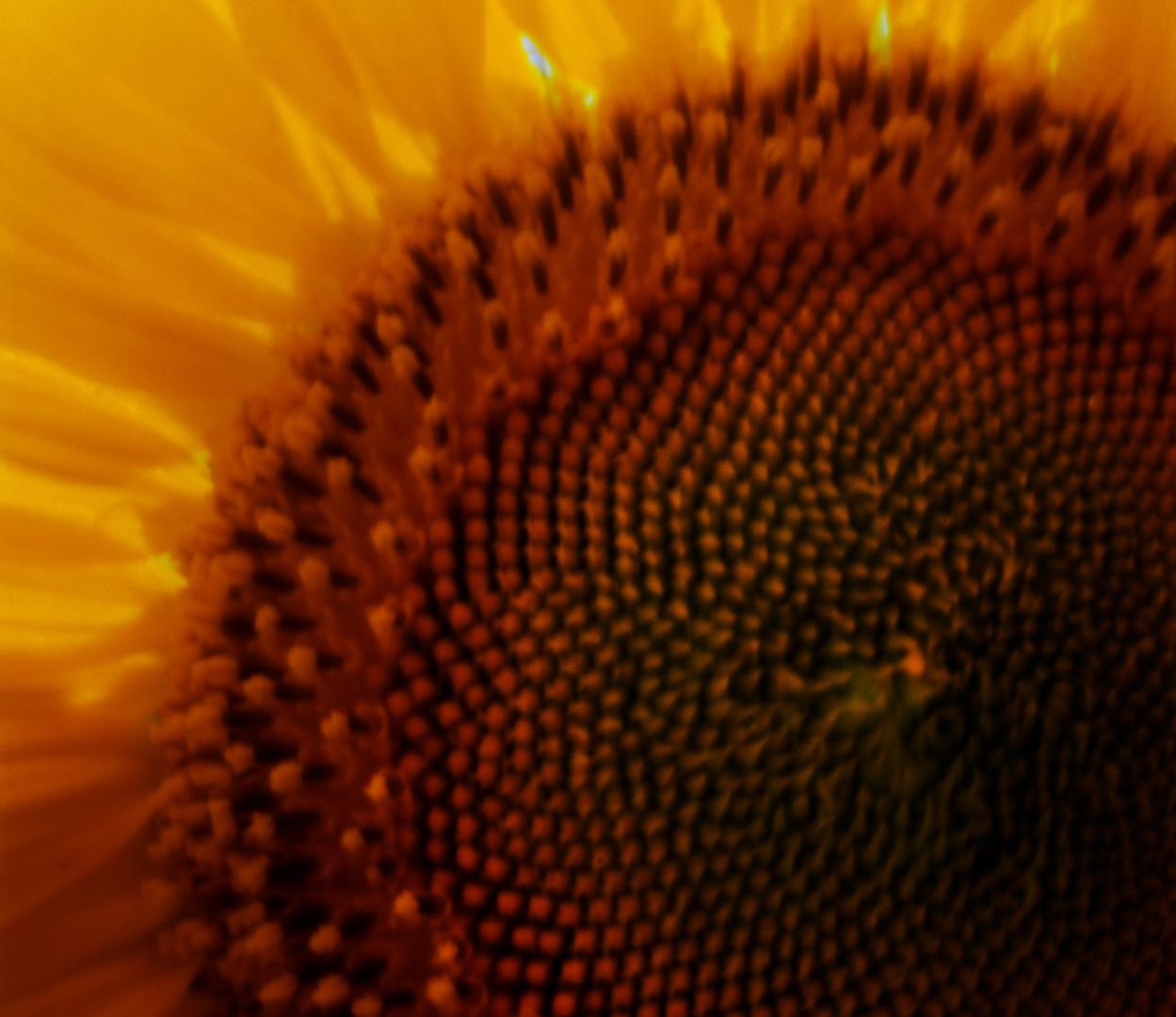 Jocelyn Lee, Untitled pinhole (giant face sunflower), 2008