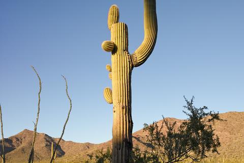 Mark Klett, Saguaro with raised right arm, 2013