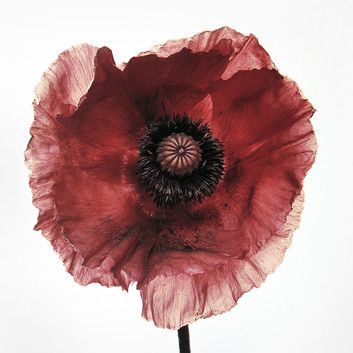 Irving Penn, Poppy: Burgundy, New York, 1968