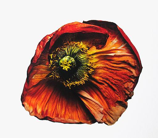 Irving Penn, Iceland Poppy/Papaver nudicaule (B), New York, 2006