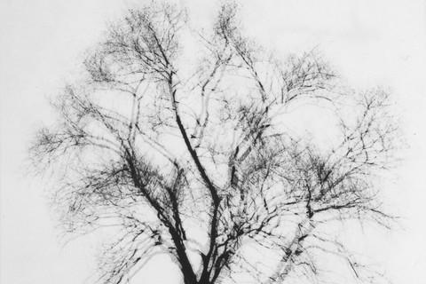 Harry Callahan, Multiple Exposure Tree, Chicago, c. 1956