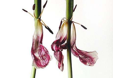 Irving Penn, Tulip/Tulipa: China Pink, New York, 2006