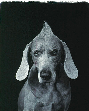 William Wegman, Hairdo, 2001