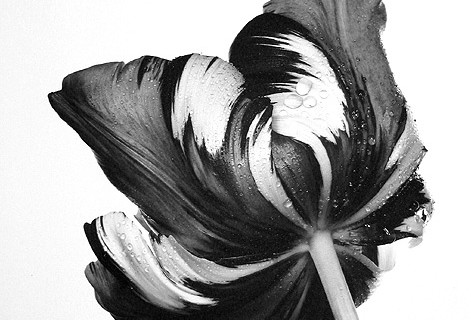 Irving Penn, Cottage Tulip: Sorbet, New York, 1967