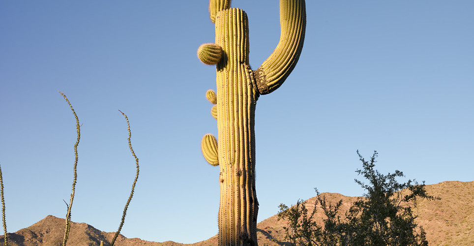 Mark Klett, Saguaro with raised right arm, 2013