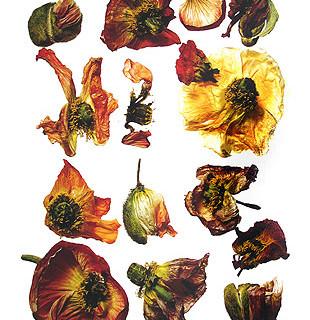 Irving Penn, Iceland Poppy/Papaver nudicaule (H), New York, 2006
