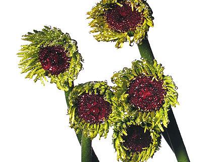 Irving Penn, Gerbera Daisy/Gerbera asteraceae, New York, 2006