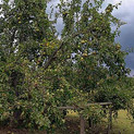 William Christenberry, Pear Tree with Storm Cloud, near Akron, Alabama, August 2002