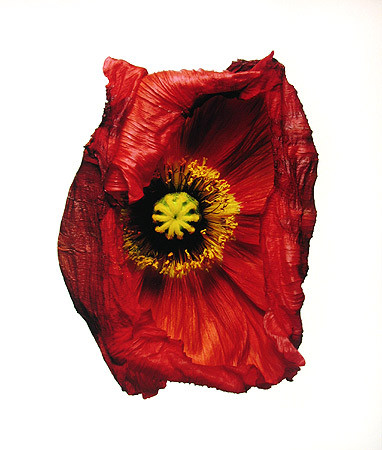 Irving Penn, Iceland Poppy/Papaver nudicaule (C), New York, 2006