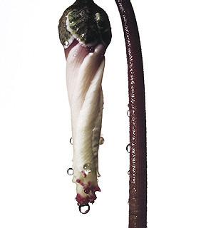 Irving Penn, Persian Violet Cyclamen/Cyclamen periscum, New York, c. 1973
