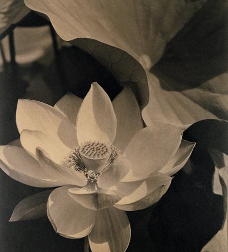 Edward Steichen (1879-1973), Lotus, Mount Kisco, New York, 1915