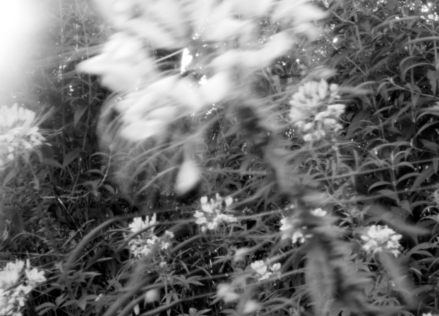 Jocelyn Lee, Untitled pinhole (phlox in your garden during the last hour of your life, July 11, 2008, 5:00 to 6:50 a.m.), 2008