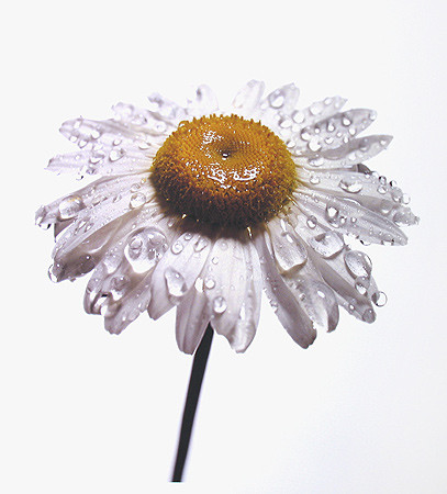 Irving Penn, Daisy with Water Drops, New York, 1968-69