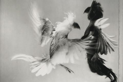 Hiro, Game Fowl, Maryland, 1988