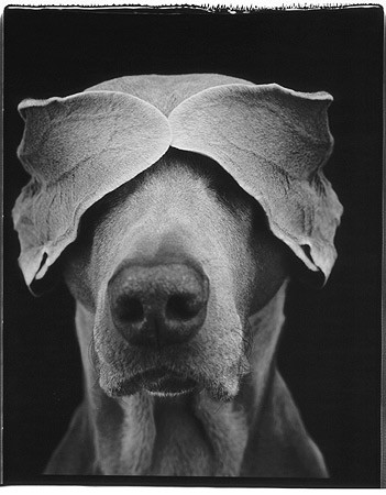 William Wegman, Earfold, 2000