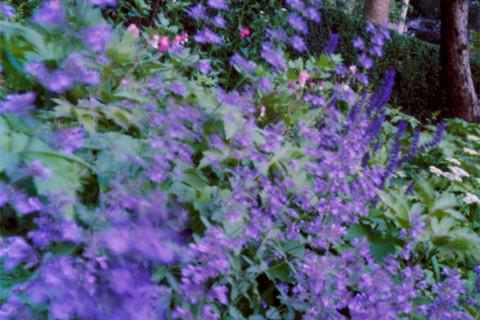 Jocelyn Lee, Untitled (catmint in Mom's garden), 2008
