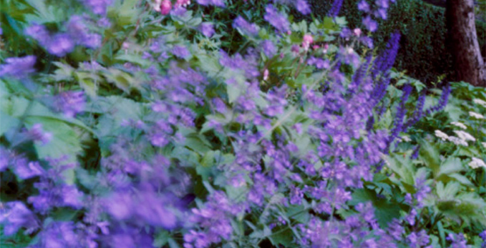 Jocelyn Lee, Untitled (catmint in Mom's garden), 2008