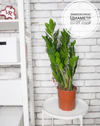 Крупномерные растения в нашем ассортименте! 😃☘️