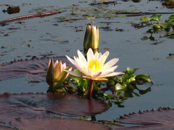 06 wild lotuses around lake.jpg