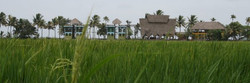 BS view paddy field.jpg