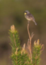 Kirtland's Warbler Comp Vert Saint Helen