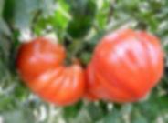 Rotes Ochsenherz.jpg