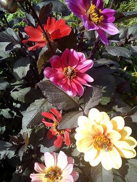 Dahlien-Mischung 'Wundertüte' (Dahlia x hortensis)