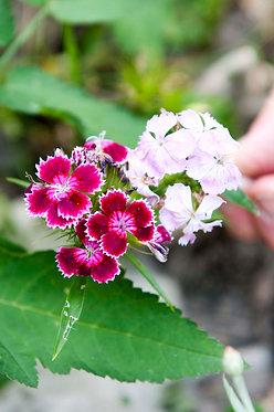 Bartnelken (Dianthus barbatus)