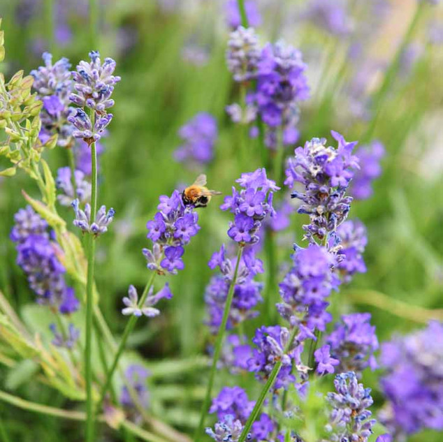 Lavendel2.jpg