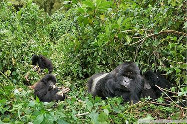 gorilles-de-montagne-amahoro-rwanda_dsc8