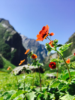 _Flowers_Blossom_At_valley_of_flowers_Ch