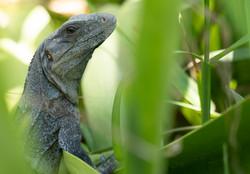 Iguanas de Yucatán