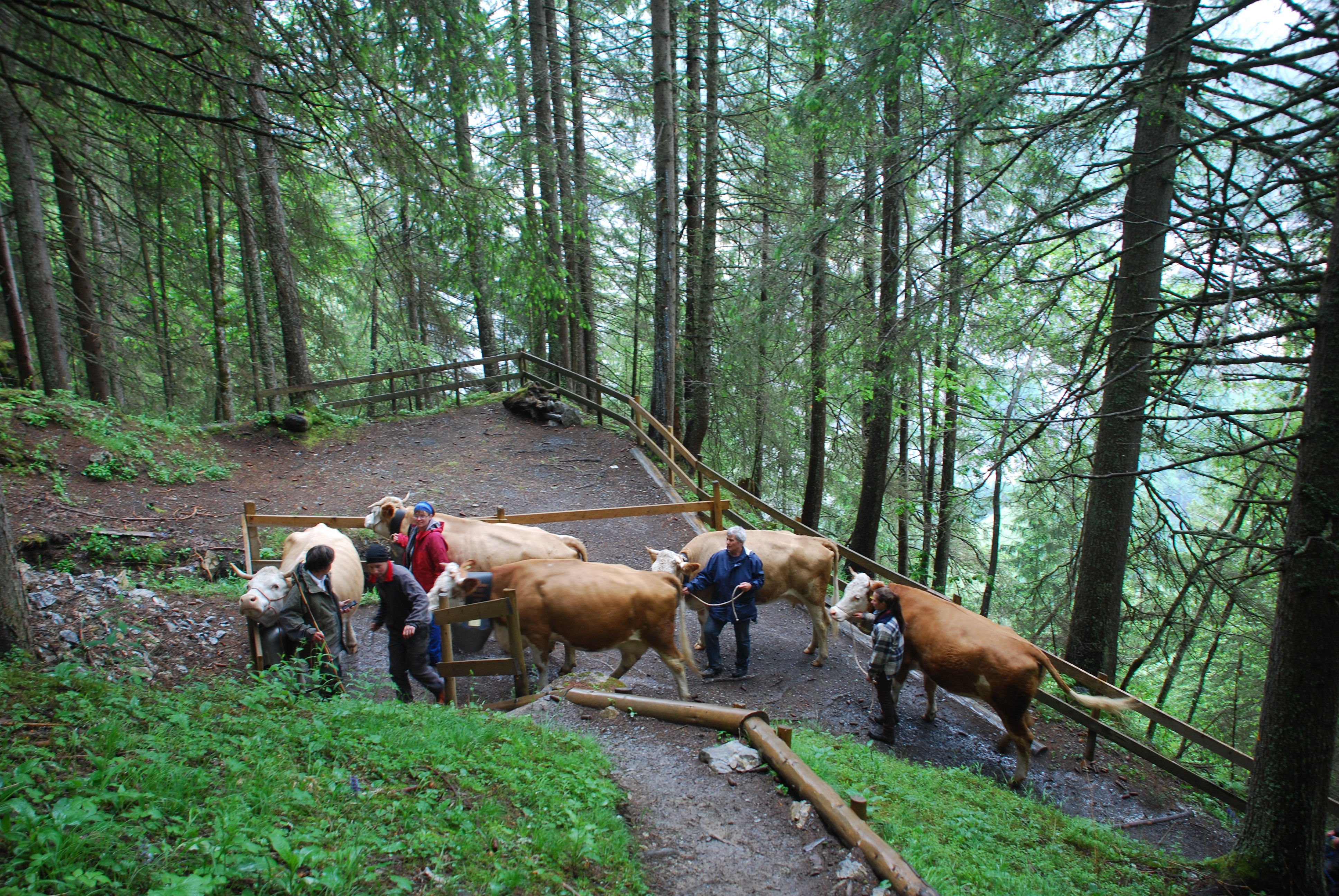 Alpauffahrt mit unseren Kühen
