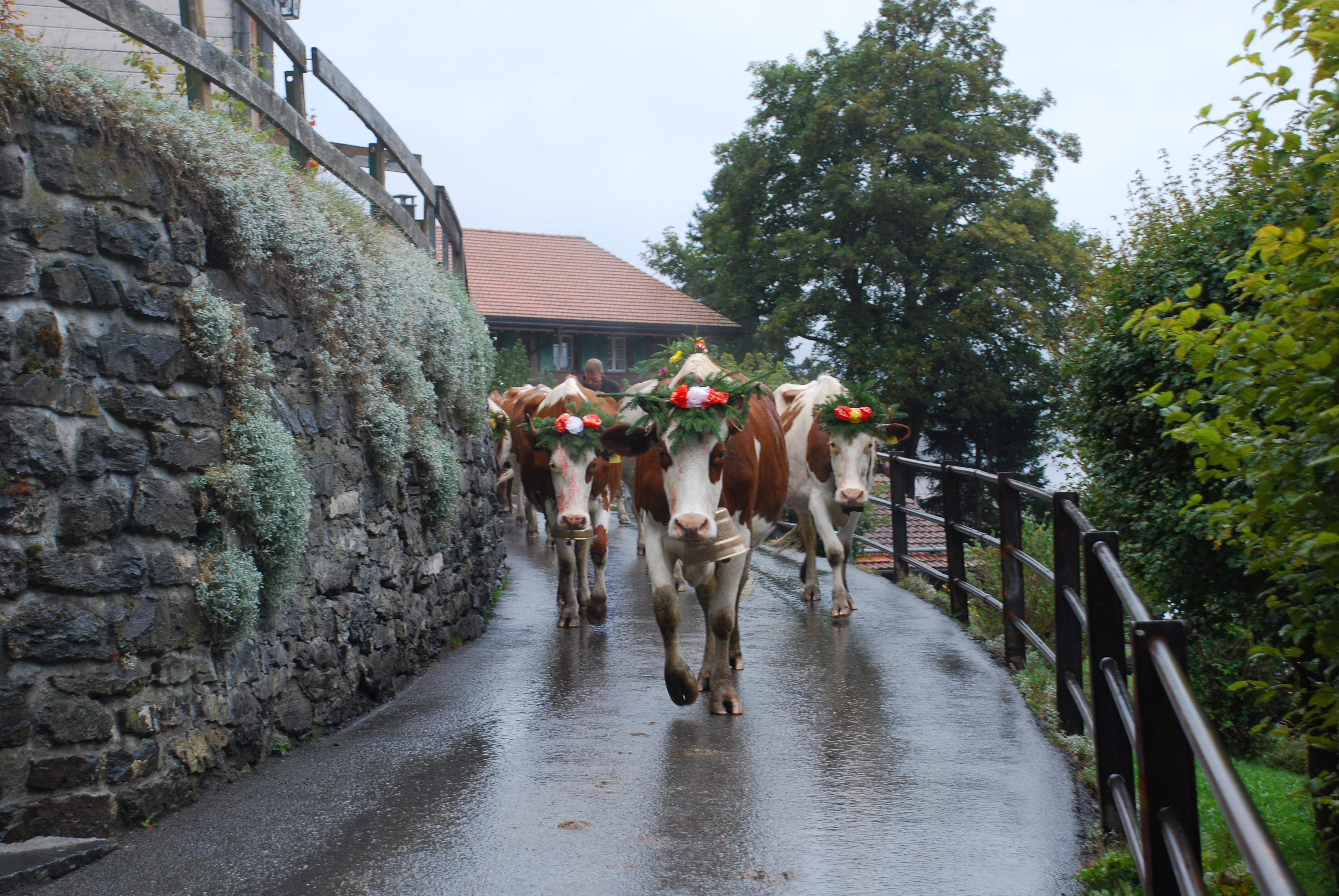 Alpabfahrt 2013