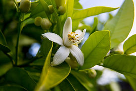 Neroli. Green bright orange tree leaves