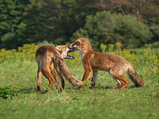 damherten en vossen