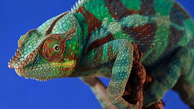 A chameleon changing colour