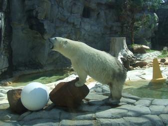 VOTAÇÃO - O Brasil deveria devolver os ursos polares em cativeiro para seu habitat natural? Sim!!!