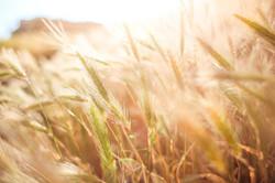 wheat-865098_1280