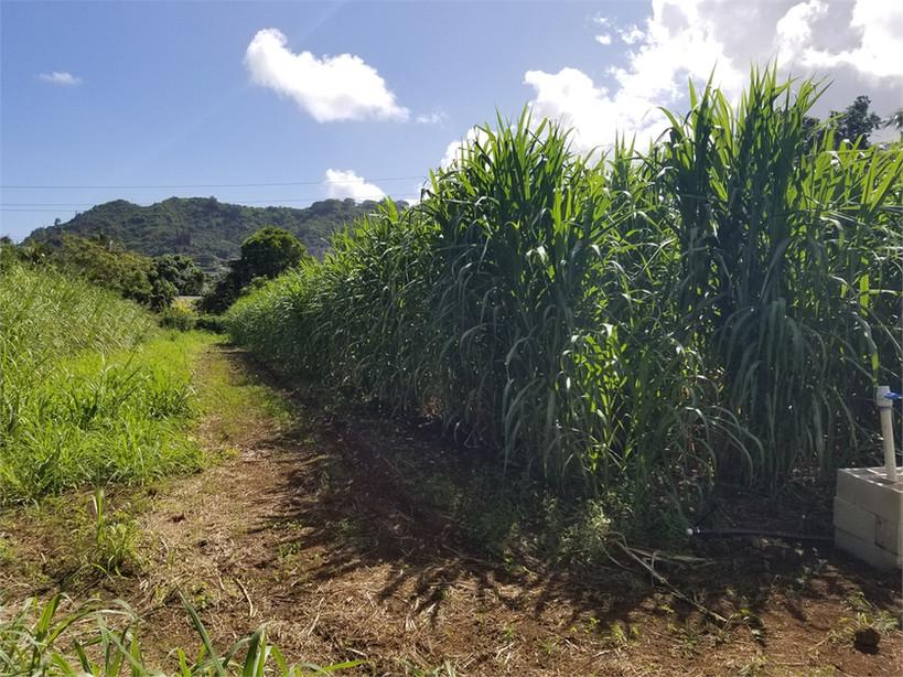 Castle H.S. Bana Grass Nursery
