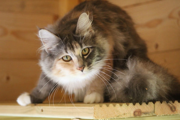 "SeidrKatts Norwegian Forest Cats ""Noynarock Astrid"""